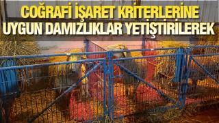 'BALIKESİR KUZUSU DAMIZLIK MERKEZLERİ' KURULUYOR