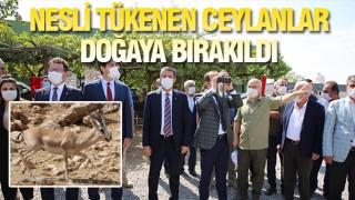 ŞIRNAK'TA 50 CEYLAN DOĞAYA BIRAKILDI